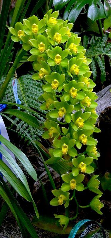 Orchid: Cymbidium Ha Bui 'Your Majesty'