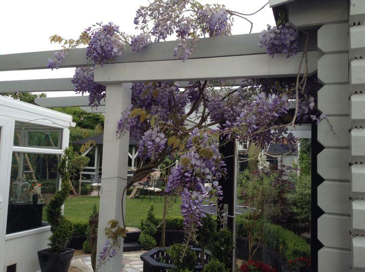 Purple wisteria trailing over grey pergola