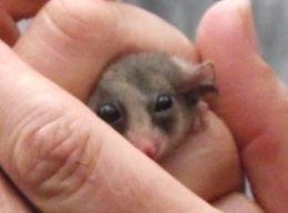 Pygmy possum thinking about things