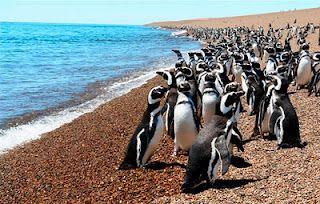 Pingüino de Magallanes Peninsula Valdes, Argentina.
