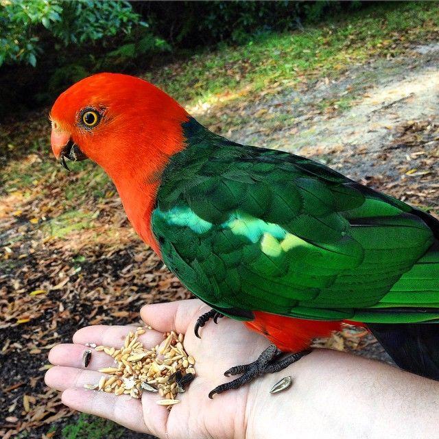 King Parrot, Merimbula