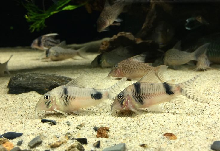 1000+ images about fish on Pinterest Malawi cichlids, Cichlids and ...