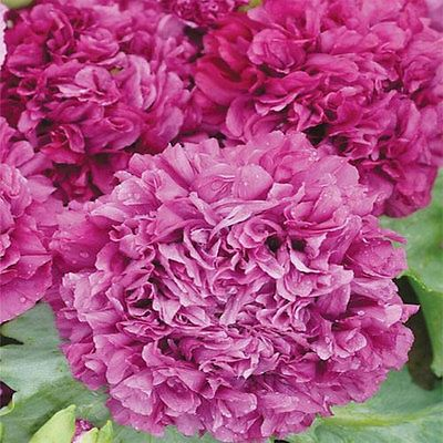 Purple-Peony-Poppy-Flower-Seeds-Papaver-Annual-100