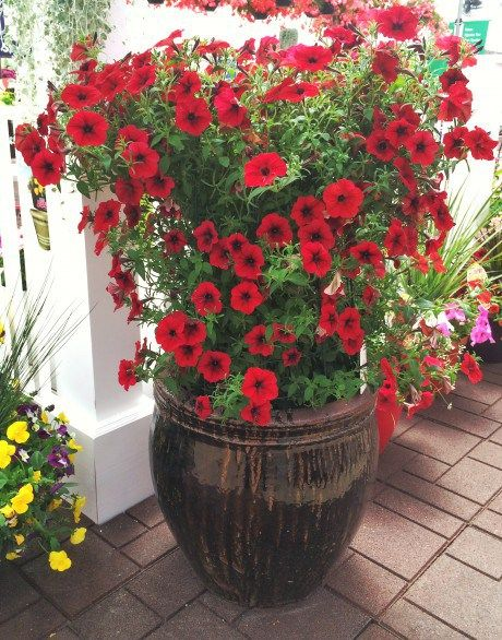 New 'Red Velour' Tidal Wave petunias - thrive in hot humid weather, above planter used only  3 plants + tomato cage!