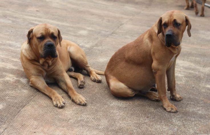 Fotos da Raça de Cachorro Bulmastife Brasileiro   Raças de Cachorros