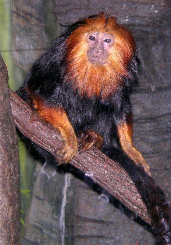 Golden lion tamarin, a new world monkey by nethrafotos