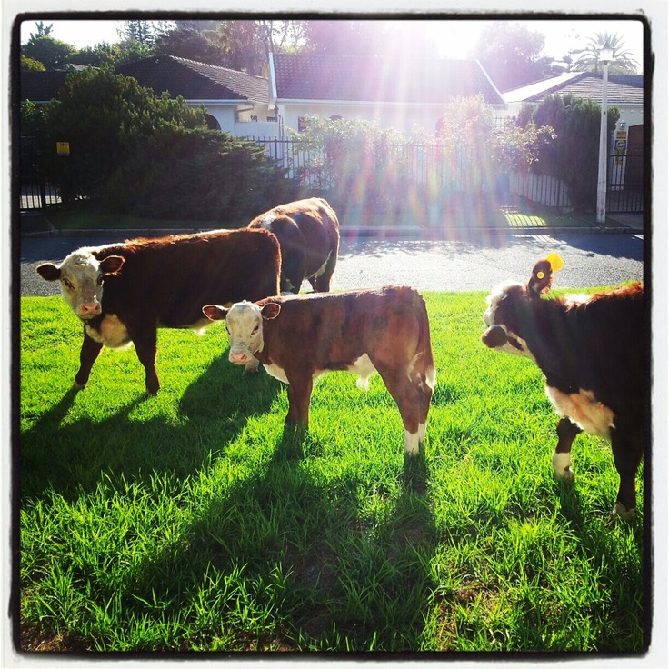 Sometimes we have to share our work space with the cows :)