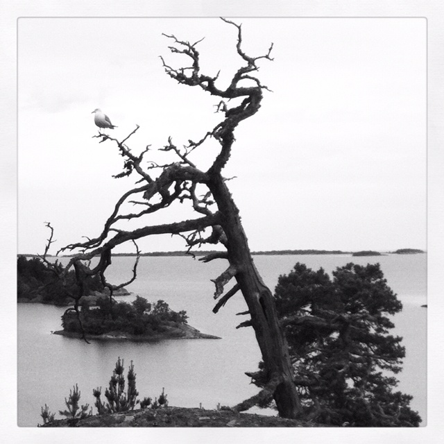 Dead tree with seagull in the Stockholm Archipelago.
