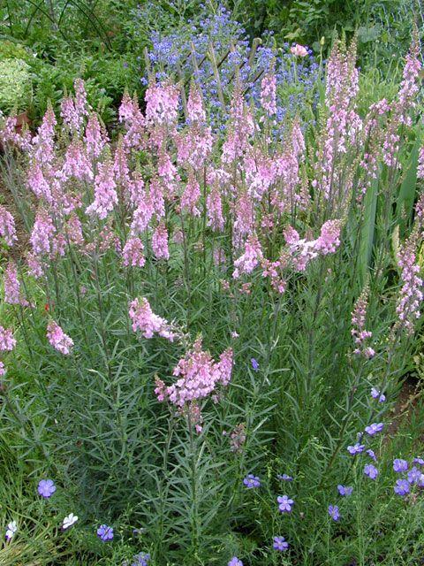 Linaria Purpurea Canon J Went Plants Pinterest