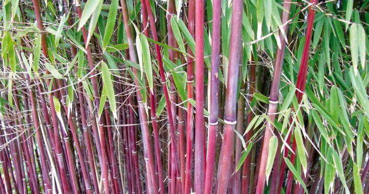 Der Rote Bambus gehört zu den jüngsten Entdeckungen im Bambus-Sortiment. Er kommt wie alle Fargesia-Arten ohne Rhizomsperre aus und ist mit seinen leuchtend roten Halmen ein echter Hingucker. Hier finden Sie alles, was Sie den Roten Bambus wissen sollten.