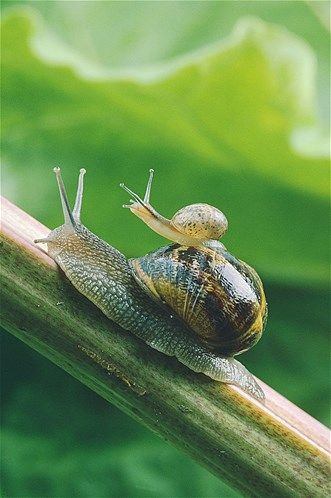 Image: Garden snails (© John Daniels/Ardea/Caters News)
