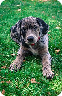Bluetick Coonhound/Labrador Retriever Mix ... i want one!
