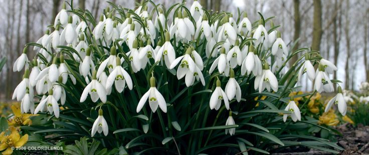 Specialty Bulb Snowdrops | Deer and Rodent Resistant Bulbs Bulbs for Sale | COLORBLENDS