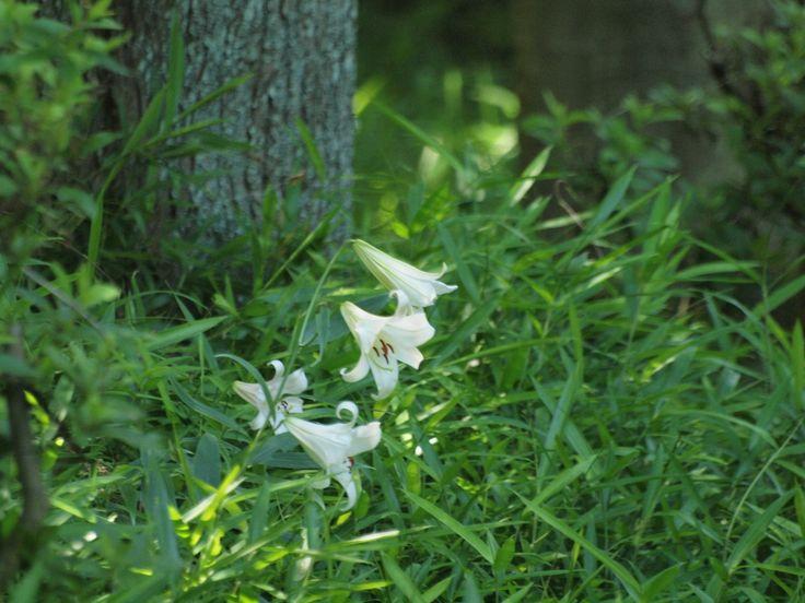 『笹百合(ササユリ)と泰山木(タイサンボク)の花達・・・・・(畜産センター)』 : 自然風の自然風だより