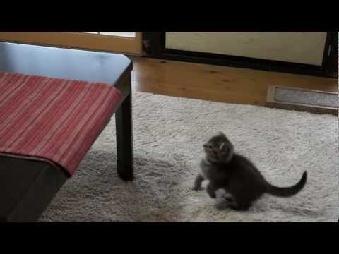 cat vs fake mouse. Embarrassing moment in from of the camera