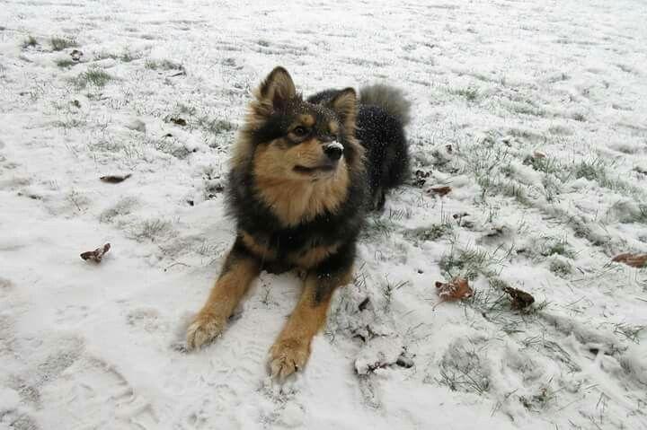 #finsk lapphund #Big Brawehearts Silke #sne januar 2016 #Silke 7 mdr.