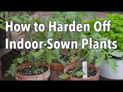 How to Successfully Harden f Indoor Sown Plants Video