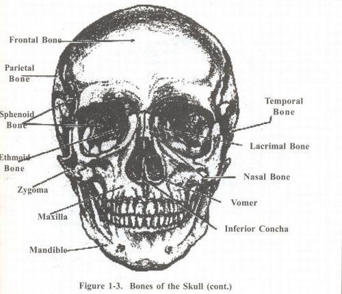 9 best images about bones on pinterest | fun facts, skulls and, Skeleton