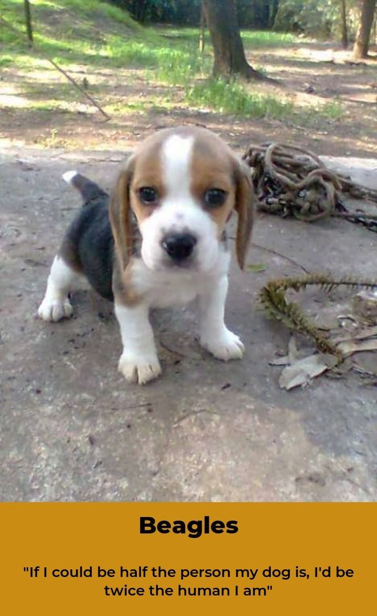 Beagle Beaglepuppy Beagles Training Beagle Beagle Puppy