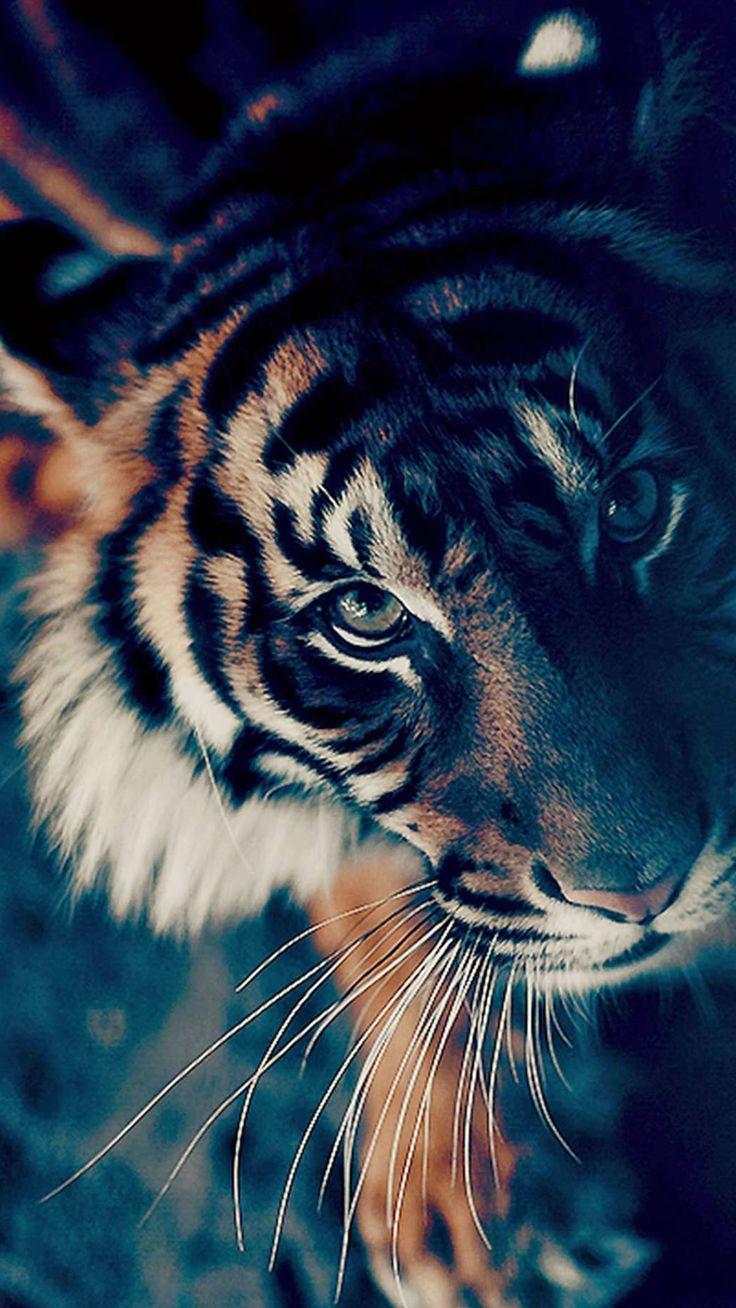 Bengal Tiger Closeup iPhone 6 wallpaper