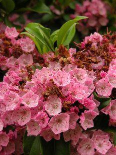 Ficha de la Kalmia latifolia