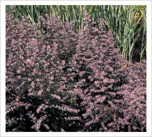 "aster lateriflorus ""Lady in black"" pink flowers from mid - summer to mid- autumn and dark foliage."