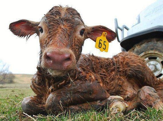 """I became a vegan the day I watched a video of a calf being born on a dairy farm. The baby was dragged away from his mother before he hit the ground. The helpless calf strained his head backwards to find his mother. The mother bolted after her son and exploded into a rage when the rancher slammed the gate on her. She wailed the saddest noise I'd ever heard an animal make, and then thrashed and dug into the ground, burying her face in the muddy placenta."" ~ James McWilliams"