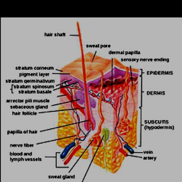 Skin Human Anatomy Image collections - human body anatomy