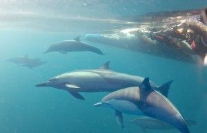 One for the bucket list - swim with dolphins at Port Stephens