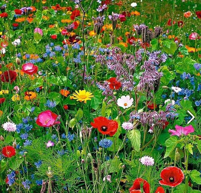 wildflower yard beautiful colors!!