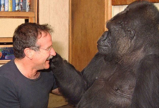 Koko The Gorilla's Bond With Robin Williams (Video)  ... see more at PetsLady.com ... The FUN site for Animal Lovers
