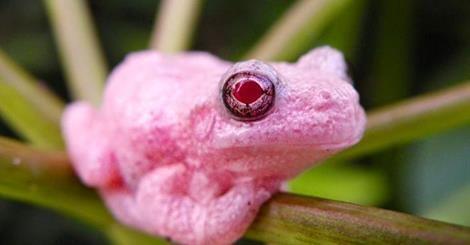 Albino Gray Tree Frog