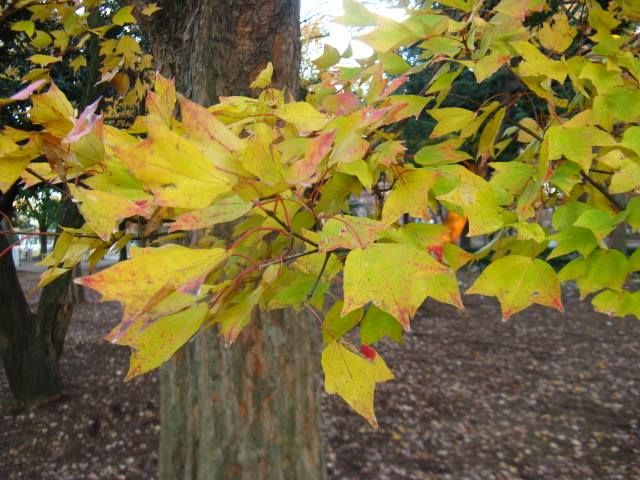 11月19日の誕生日の木は「トウカエデ(唐楓)」です。 カエデ科カエデ属の落葉高木です。原産地は中国東南部から台湾。江戸時代に渡来しました。樹勢が強いため、街路樹として、また公園樹として植えられています。 樹高は10m~20m。樹皮は灰褐色で、成木では短冊状にはがれます。葉は光沢があり表裏とも無毛で、長さ4cm~8cmの倒卵形、掌状の3脈があって浅く3裂しています。ただし、5つに裂けるものもあれば、ほとんど裂けないものもあり、変異の多い種です。成木の葉にはギザギザ(鋸歯)はありませんが、幼木では大きな鋸歯があります。