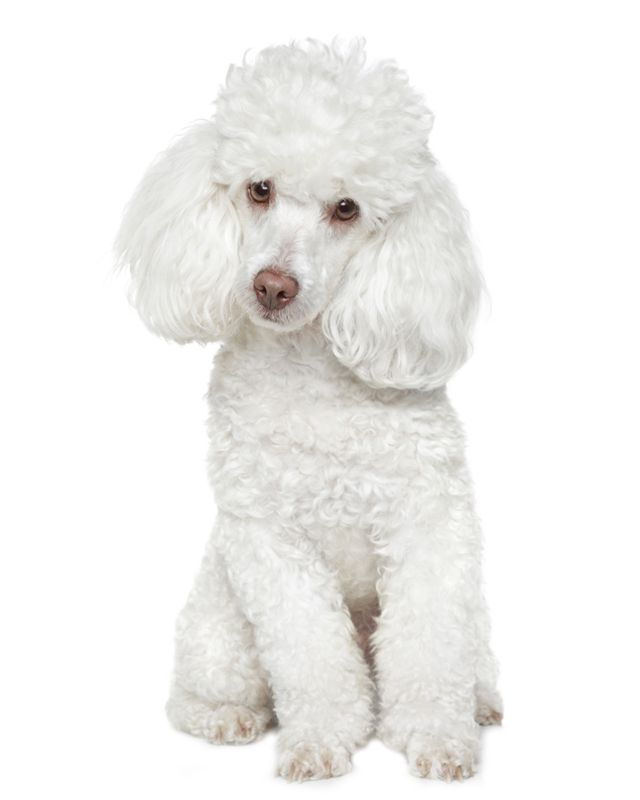 Toy Poodle Puppies Breed Information Puppies For Sale White