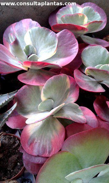 les 25 meilleures id es de la cat gorie kalanchoe thyrsiflora sur pinterest succulent plant. Black Bedroom Furniture Sets. Home Design Ideas