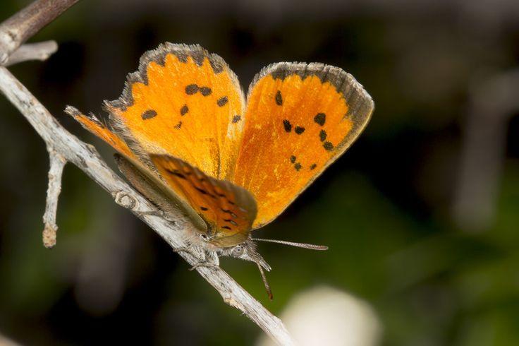 Our Karoo safari - butterfly pix