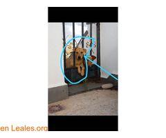 GRAN CANARIA ℹ  Perdido desde anoche en Arucas Gran Canaria. Macho de alrededor de un año con chip. Si lo encuentran llamar al 650771396  #Perdido #Encontrado  Contacto y Info: Pulsar la foto o aquí: https://leales.org/perdidos-o-encontrados/perros-perdidos/gran-canaria_i3146    Acerca de esta publicación:   Esta publicación NO ha sido creada por Leales.org y NO somos responsables de su contenido.  Ha sido publicada gratuitamente por un usuario en la multiplataforma Leales.org y…