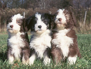 Bearded Collie pups