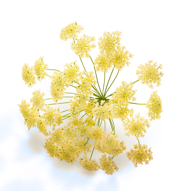Angelica is called the 'herb of angels' and according to legend the Essential Oil is a protector. The Essential Oil of Angelique is used in Decléor's Aromessence Angelique to stimulate microcirculation for plump, glowing skin and perfectly complements dry skin.