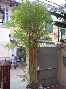 Как выращивать бамбук в домашних условиях