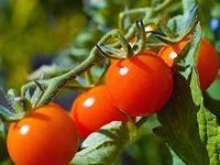 Skvělé odrůdy rajčat: výnosné rané hybridy, lahůdkové ovocné, cherry pro balkóny