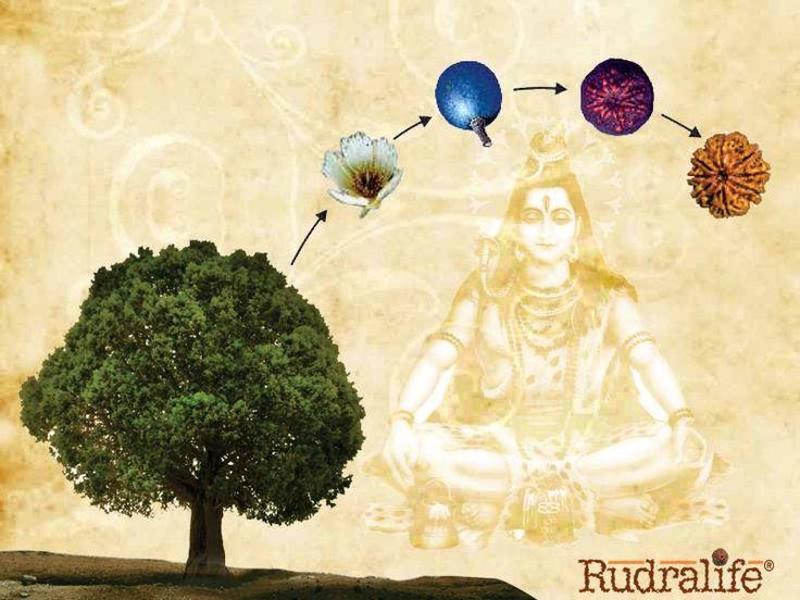 What exactly is the rudraksha bead??? Rudraksha are beads which grow from Rudraksha- Elaeocarpus Ganitrus Roxb trees.