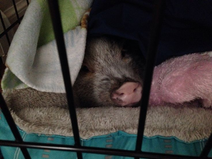 My mini pig clementine snuggling in her bed on a cold