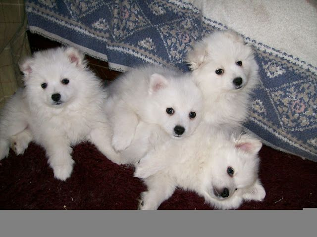 How much are american Eskimo puppies | Maginezart