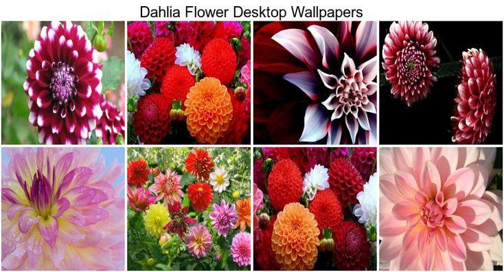 1000 Images About Dahlias I Like On Pinterest Purple