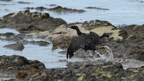 21 May 2015. A bird covered in oil flaps its wings at Refugio State Beach, north of Goleta, Calif. More than 9,000 gallons of oil have been raked, skimmed and vacuumed from a spill that stretched across 9 miles of California coast, just a fraction of what escaped from a broken pipeline. Pipeline operator: possibly months to determine cause of spill.