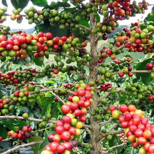 The original home of the coffee plant is Africa. The first coffee plant of economic importance was Coffea Arabica. It grows to the height of 2-3 feet but the cultivated plants are cut to the height of