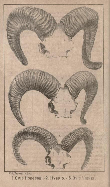 Bombay Natural History Society. 1886. Horns of the sheep, Ovis hodgsoni