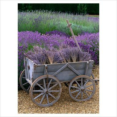 Need my lavender to look like this.  {GAP Photos - Garden & Plant Picture Library - Wooden cart with bunches of dried lavender - GAP Photos - Specialising in horticultural photography}