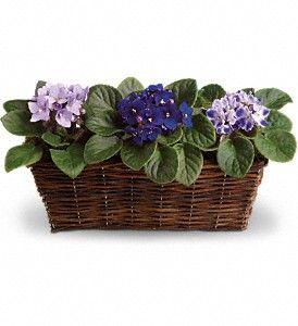 Sweet Violet Trio in Metairie LA, Villere's Florist African Violets come in many colors, White, Pink, Lavender, Purple, Ruby Red & more. Violets make a great gift.   http://www.villeresflorist.com/metairie-florist/plants-509c.asp?topnav=TopNav